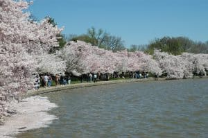 Cherry Blossoms in Washington, D.C. Photo: National Parks Service